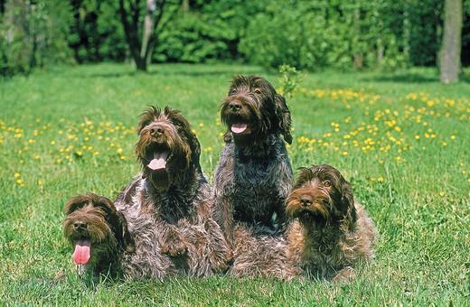 Grupa psów na literę G Gryfon Korthlasa