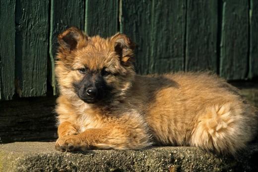 Szczeniak psa Harzer Fuchs