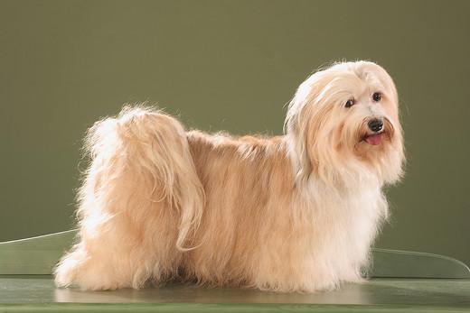 Rasa psa na zdjęciu to Hawańczyk