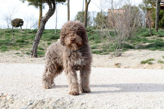 Pies Hiszpański pies dowodny (Spanish water dog)