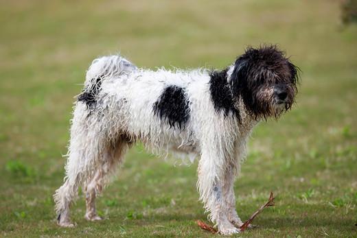 Rasa psów Hiszpański pies wodny