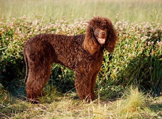 Pies na I czyli Irlandzki spaniel dowodny
