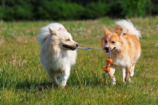 Dwa psy rasy Islandzki szpic pasterski