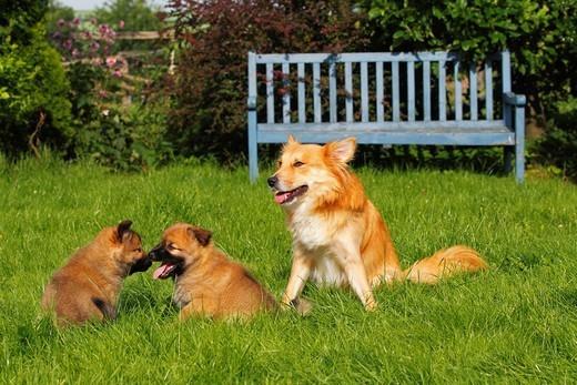 Rodzinka psów rasy Islandzki szpic pasterski