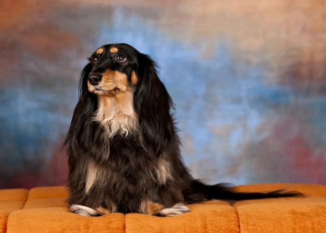 pies myśliwski, rasa psów,jamnik długowłosy,pies