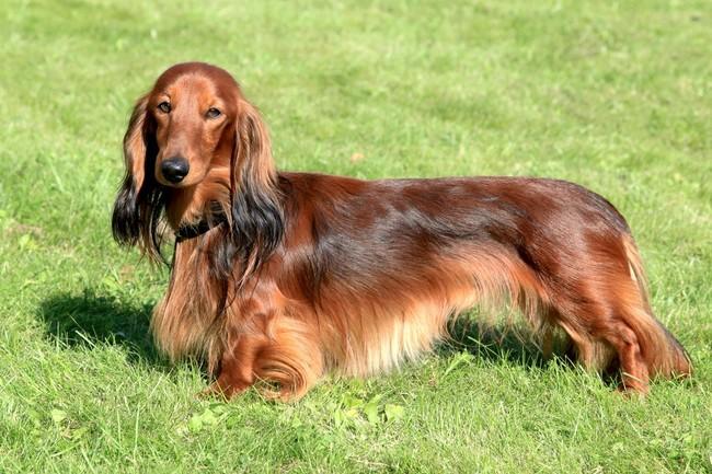 rasa psów, pies z 4 rupy fci, jamnik długowłosy,jamnik