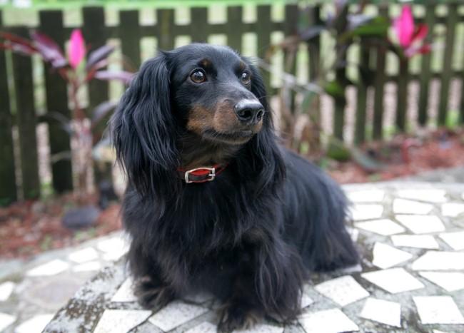 rasa psa, jamnik długołosy, pies myśliwski, jamnik czarno podpalany