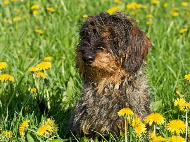 norowiec, jamnik szorstkowłosy, rasa psów z niemiec,pies myśliwski
