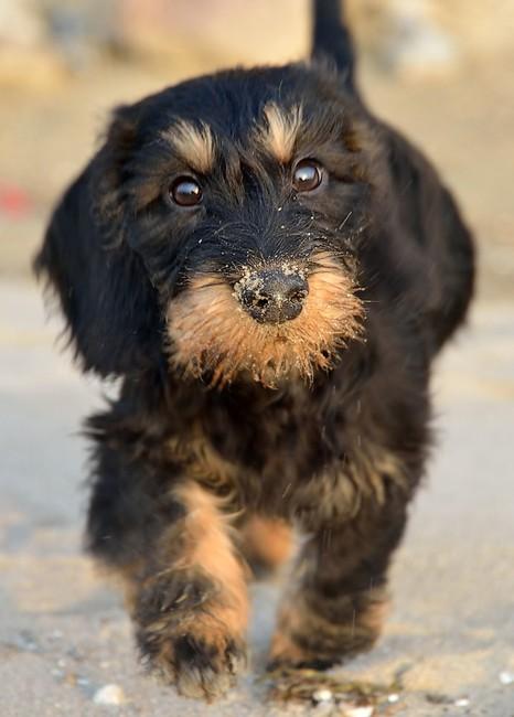 szczeniak jamnika,jamnik szorstkowłosy, pies myśliwski, norowiec