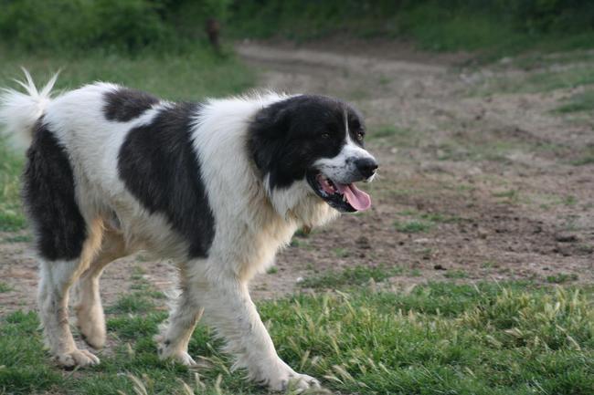 Pies rasy Owczarek bułgarski Karakachan