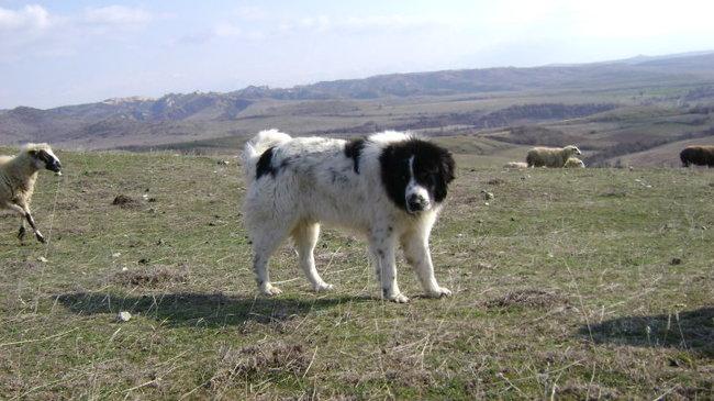 Karakachan owczarek bułgarski