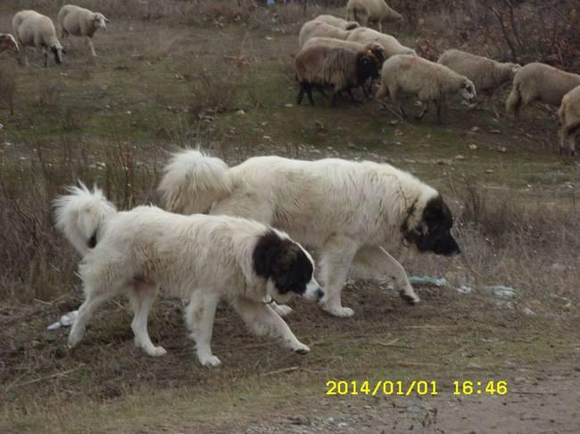 Karakachan ze stadem owiec