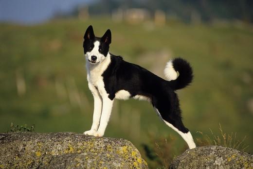 Zdjęcie przedstawiącące psa rasy Karelski pies na niedźwiedzie