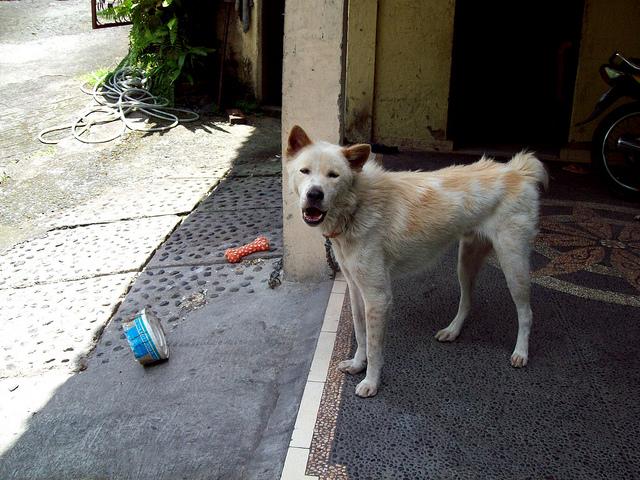 Pies z Bali Kintamani