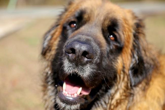 Pies górski z Estrela z bliska