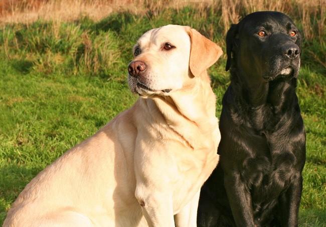 psy labradory, zdjęcie labradorów, rasa labrador retriever, retirvery