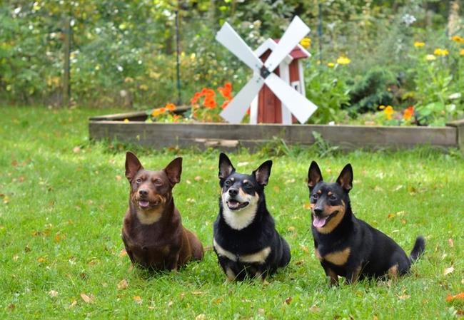 Psy potrzebujace dużo ruchu Lancashire heeler