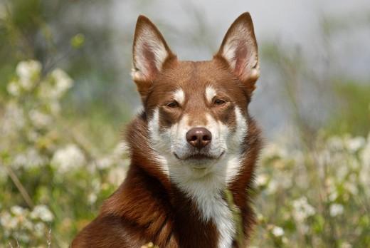 Kufa psa rasy Lapoński pies pilnujacy reniferów