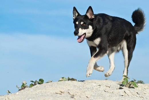 Pies rasy Lapinporokoira biegnacy na skałach