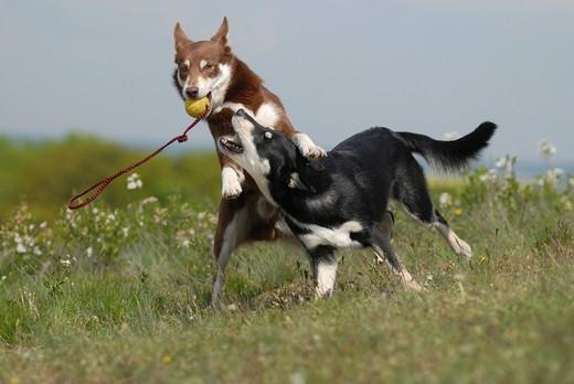 Rasy psów na L Lapinporokoira