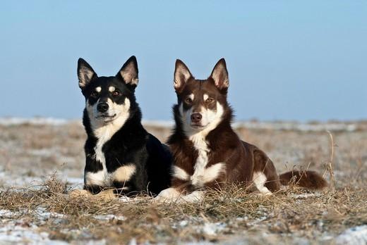 Zdjęcie przedstawiające Lapońskie psy pilnujace