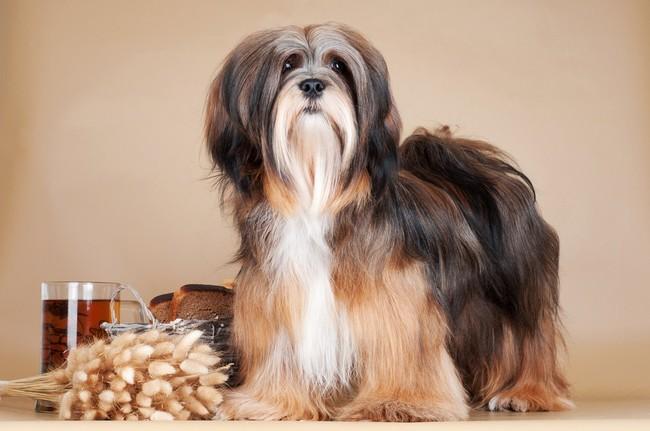 Rasy psów nie gubiące sierści