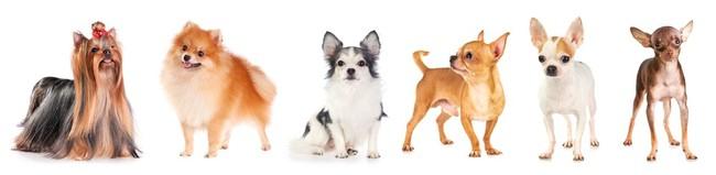 psy ras małych najlepsi stróże