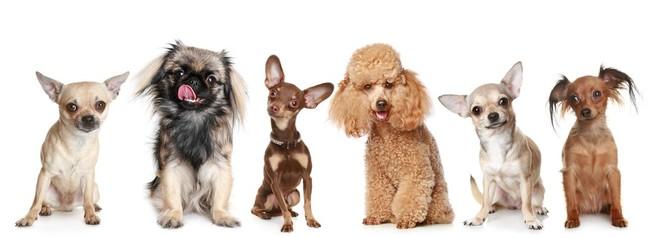 Najlepsze rasy psów małych stróżujących