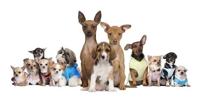 Oryginał Psy ras małych najlepsi stróże MF37