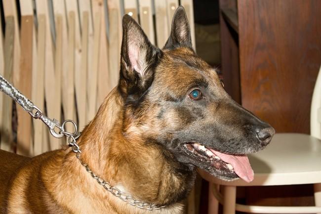 Pies rasy Malinois Służb Granicznych