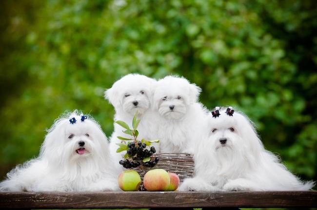 Psy Maltańczyki