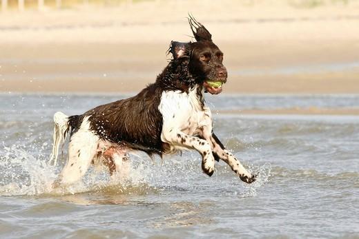 Rasy psów na M - Mały Munsterlander