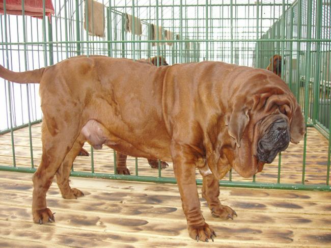 Koreańska rasa psa Mastif koreański