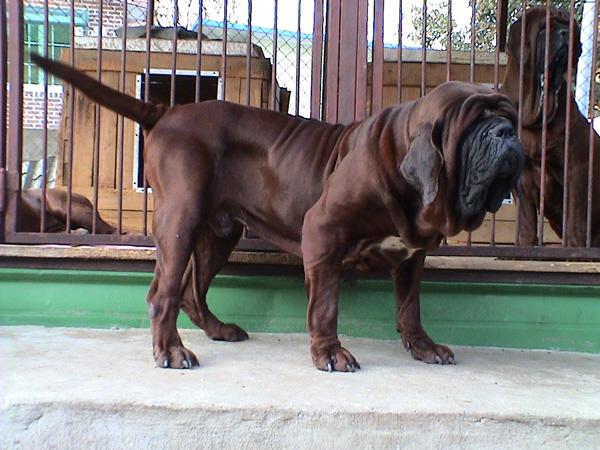 Rzadka rasa psa Mastif koreański