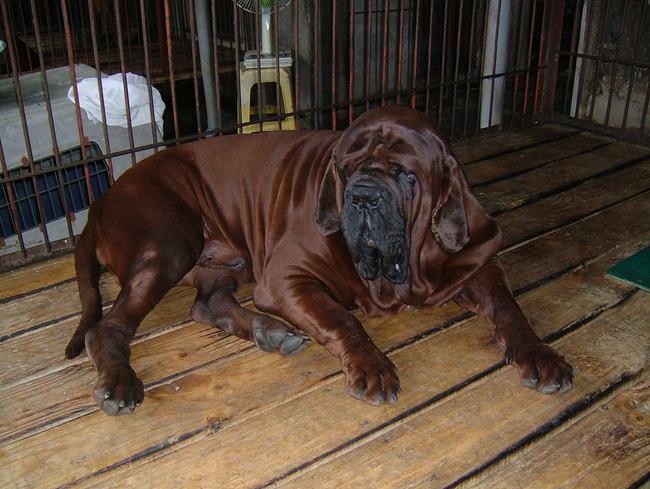Mastif koreański rasa psa z Korei