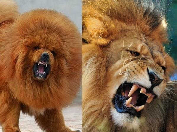 Mastif tybetański i lew