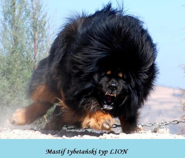 Mastif tybetański w typie LION