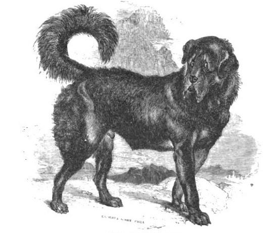 Mastif tybetański z 1854 roku