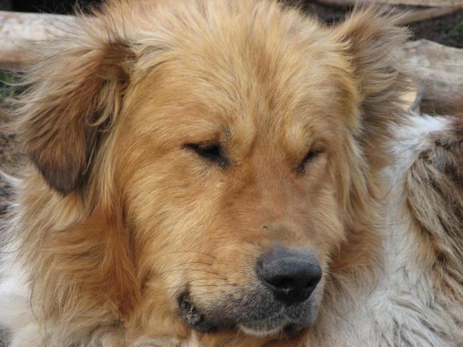 Karakahan dog rasa psów z grupy molosowatych