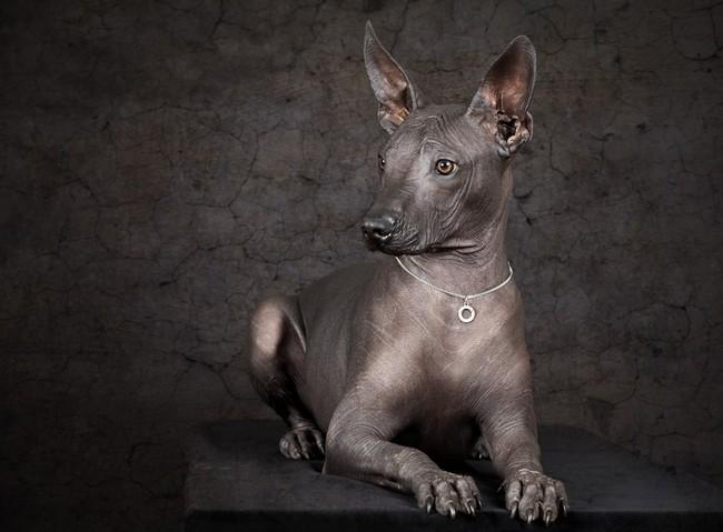 Nagi pies meksykański rasa psów