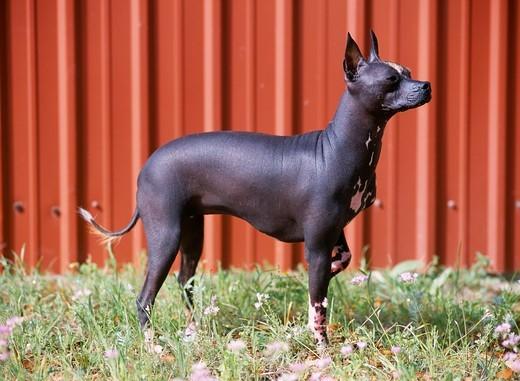 Pies rasy Nagi pies meksykański