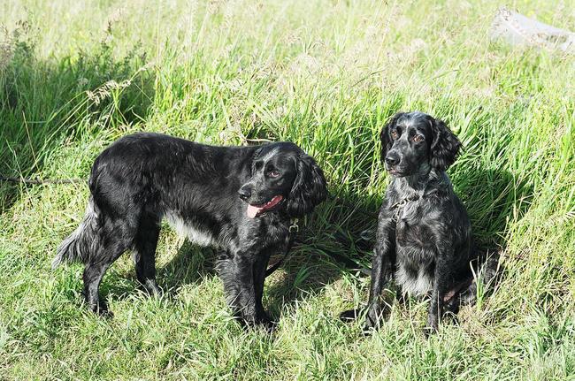 psy o niebieskim umaszczeniu Niebieskie spaniele pikardyjskie