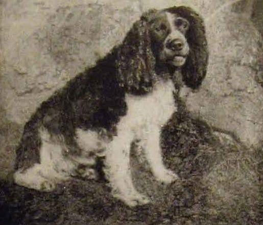 Wymarła rasa psa Norfolk spaniel lub Shropshire spaniel