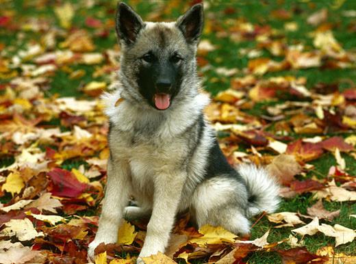 Rasa psów Norweski elkhund szary