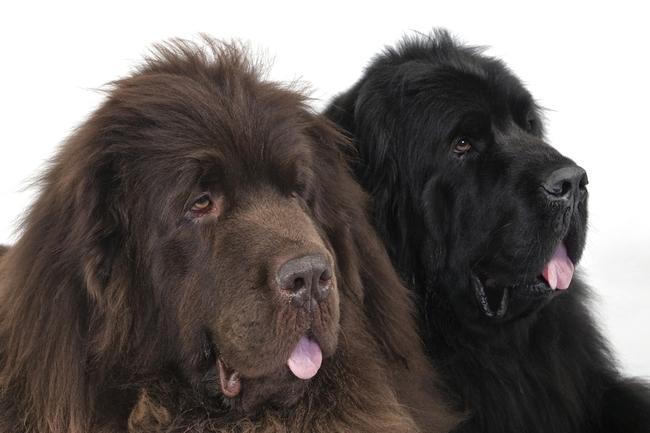 Dwa piekne psy rasy Nowofunland
