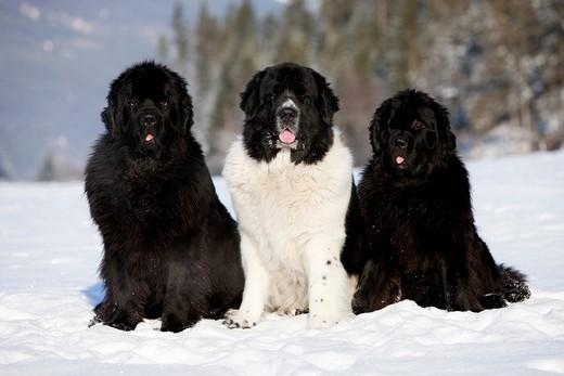 Trzy Nowofunlandy w zimie
