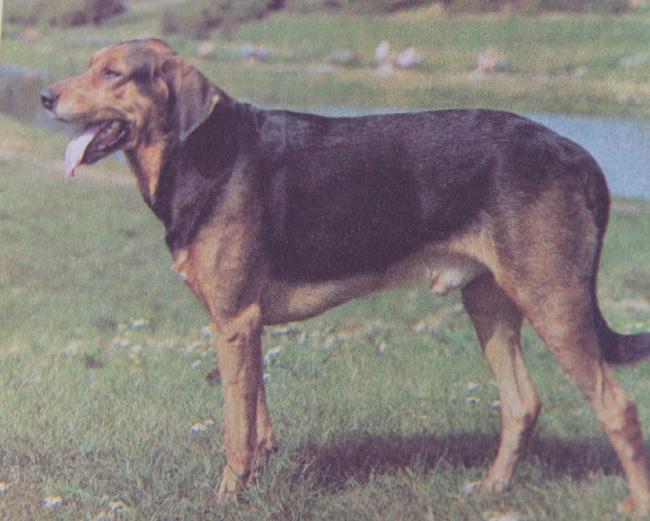 Pies myśliwski Ogar polski