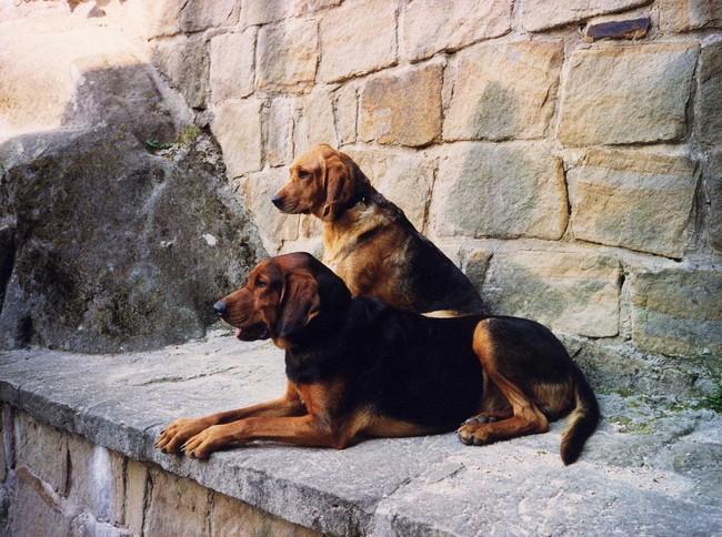 Psy Ogary polskie