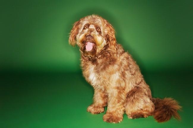 Pies na literę O Otterhound
