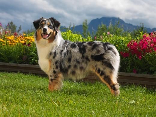 Rasa psa Owczarek australijski typ amerykański